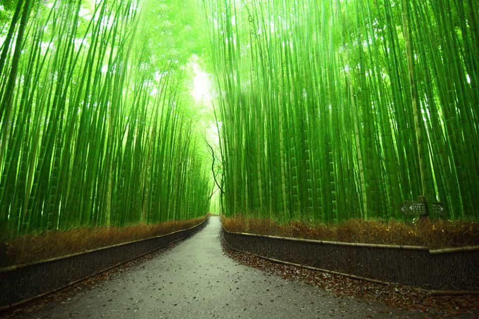 Бамбуковая роща 4