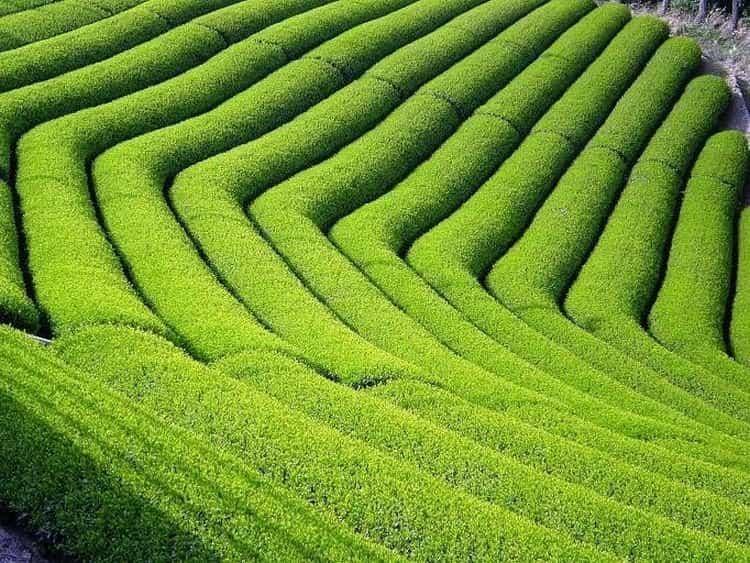 Чайные плантации 1