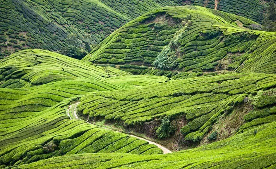 Чайные плантации 2