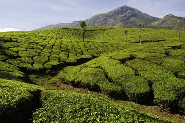 Чайные плантации 3