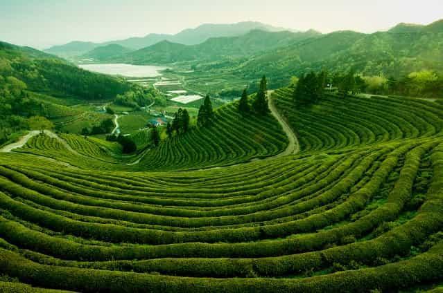 Чайные плантации 4