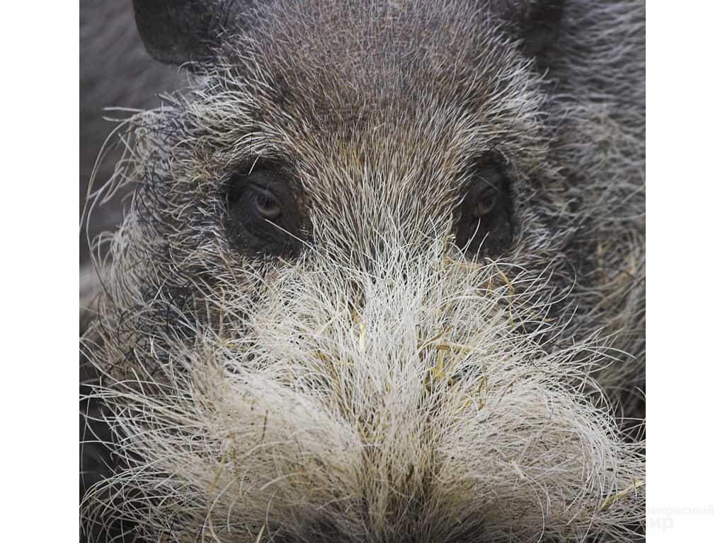 Самые необычные животные. Бородатая свинья