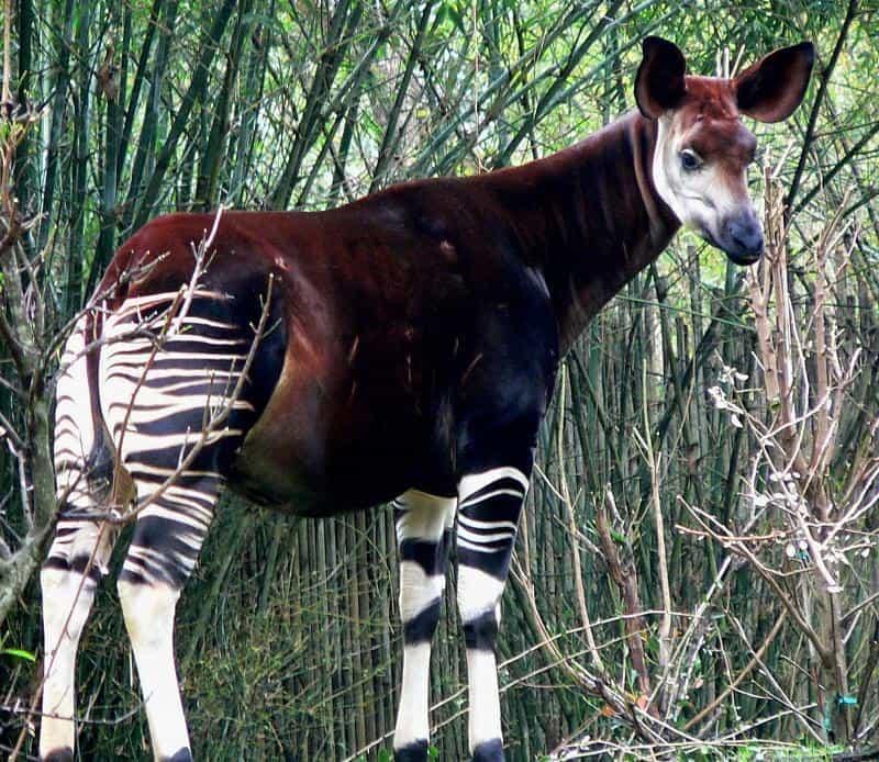 Самые необычные животные. Окапи